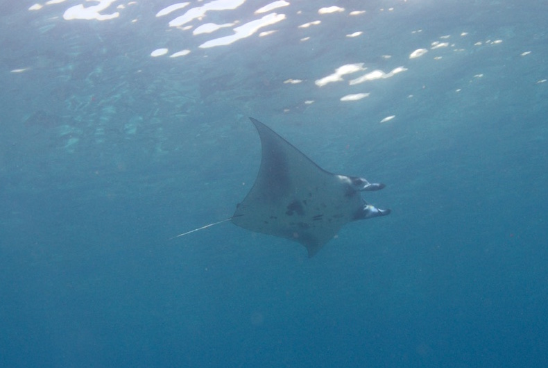Mantas, mantas, sharks and more mantas