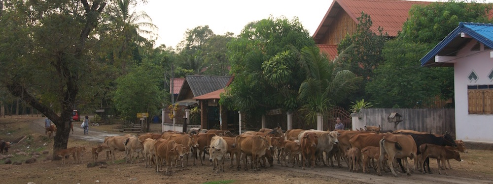 Herd of cows Tat Lo Village