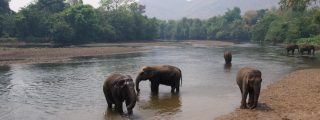 Olifanten baden in de rivier, Elephants World